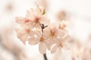 河津桜の写真素材 [FYI03815143]