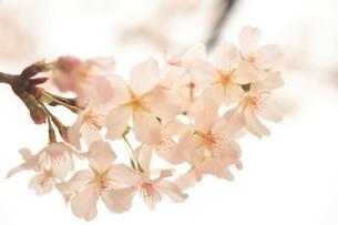 河津桜の写真素材 [FYI03815144]