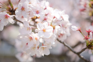 河津桜の写真素材 [FYI03815146]