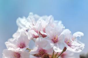 河津桜の写真素材 [FYI03815148]