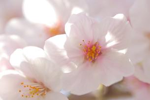 河津桜の写真素材 [FYI03815149]