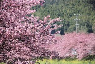 河津桜の写真素材 [FYI03815153]