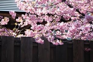 河津桜の写真素材 [FYI03815154]