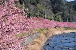 河津桜の写真素材 [FYI03815156]