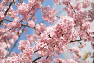 河津桜の写真素材 [FYI03815158]