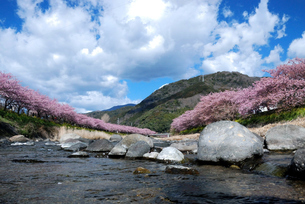 河津桜の写真素材 [FYI03815159]