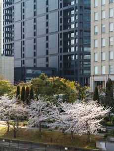 高層ビルと桜並木の写真素材 [FYI03815265]
