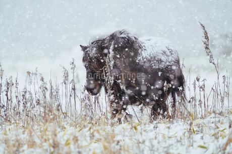 冬の馬の写真素材 [FYI03815375]