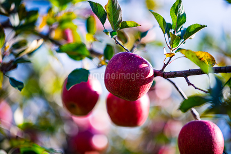 Ripe apples in orchardの写真素材 [FYI03815680]