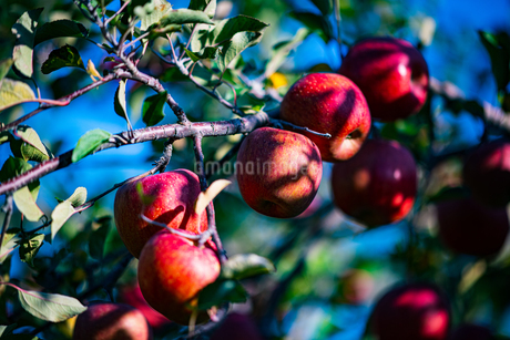 Ripe apples in orchardの写真素材 [FYI03815681]