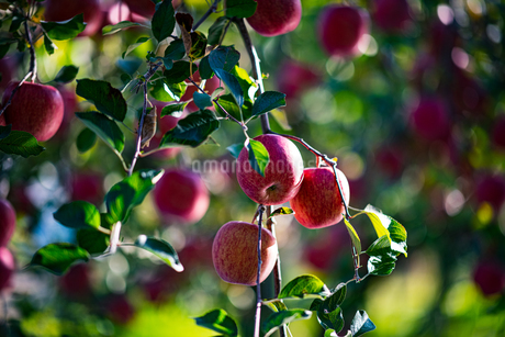 Ripe apples in orchardの写真素材 [FYI03815686]