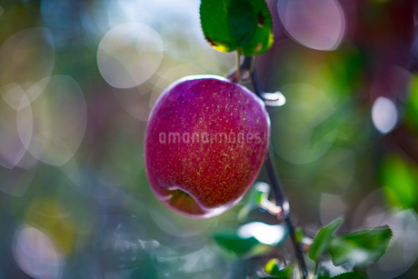 Ripe apples in orchardの写真素材 [FYI03815696]