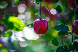 Ripe apples in orchardの写真素材 [FYI03815704]