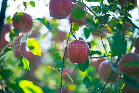 Ripe apples in orchardの写真素材 [FYI03815711]