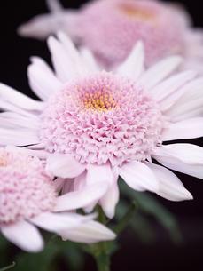 菊の花の写真素材 [FYI03816061]