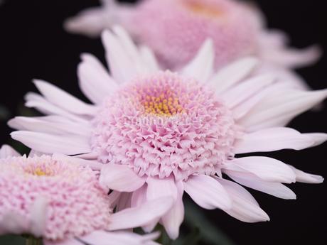 菊の花の写真素材 [FYI03816062]