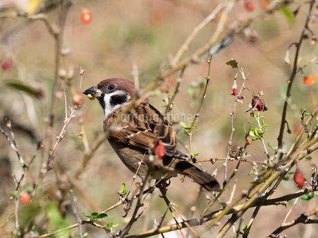 木の実を食べるスズメの写真素材 [FYI03816105]