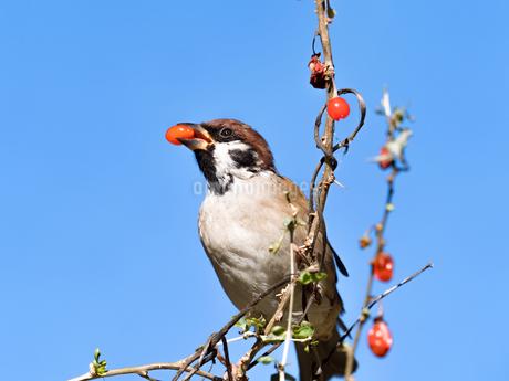 木の実を食べるスズメの写真素材 [FYI03816106]