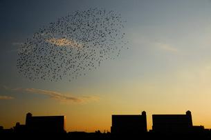 ムクドリの群れの写真素材 [FYI03816129]