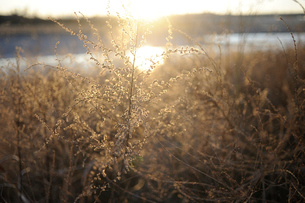 冬の野草の写真素材 [FYI03816137]