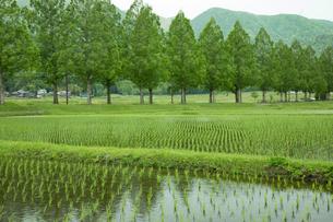 水田とメタセコイア並木(滋賀県、マキノ)の写真素材 [FYI03816449]