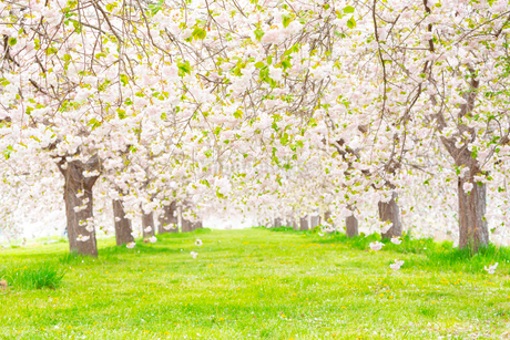 桜の花びら舞い散る八重桜並木の写真素材 [FYI03816494]