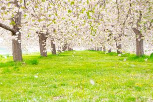 桜の花びら舞い散る八重桜並木の写真素材 [FYI03816496]