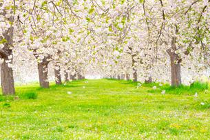 桜の花びら舞い散る八重桜並木の写真素材 [FYI03816497]