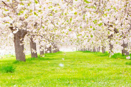 桜の花びら舞い散る八重桜並木の写真素材 [FYI03816500]