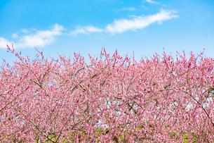 青空の下 満開の桃の花の写真素材 [FYI03816502]