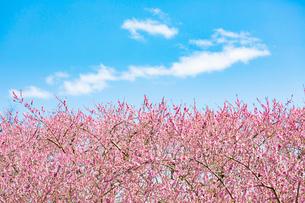 青空の下 満開の桃の花の写真素材 [FYI03816503]