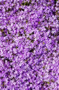 芝桜の写真素材 [FYI03816504]