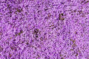 芝桜の写真素材 [FYI03816505]