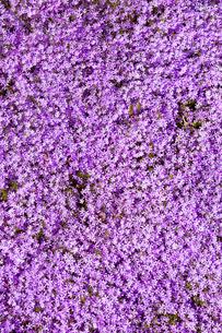 芝桜の写真素材 [FYI03816506]