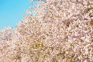 満開の八重桜の写真素材 [FYI03816507]