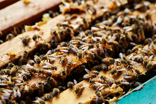 養蜂の写真素材 [FYI03816961]