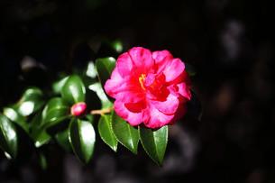 咲き始めたサザンカの花の写真素材 [FYI03817320]