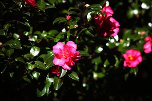 咲き始めたサザンカの花の写真素材 [FYI03817321]