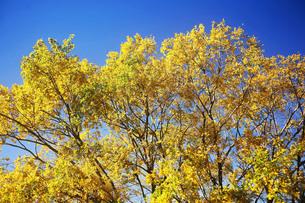 コナラの黄葉の写真素材 [FYI03817323]