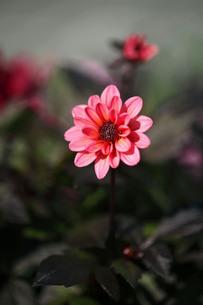 秋まで咲くダリアの花の写真素材 [FYI03817335]