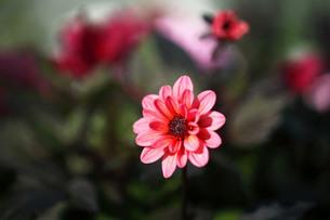 秋まで咲くダリアの花の写真素材 [FYI03817336]
