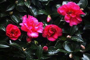雨中に咲く山茶花の花の写真素材 [FYI03817342]