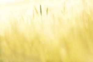麦畑の写真素材 [FYI03817429]