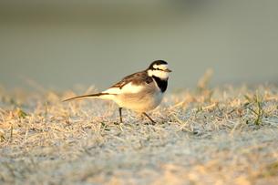 冬枯れの芝生の上のハクセキレイの写真素材 [FYI03817452]