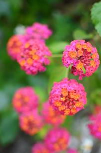 カラフルな可愛いランタナの花の写真素材 [FYI03817791]
