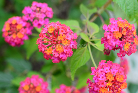 カラフルな可愛いランタナの花の写真素材 [FYI03817792]