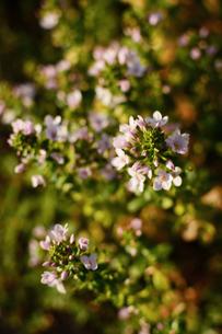 薄いピンク色のトウワタの花の写真素材 [FYI03817797]
