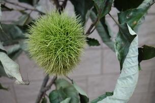 秋の緑の栗の実の写真素材 [FYI03818019]