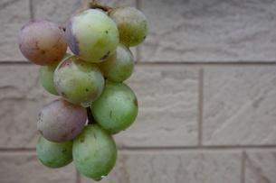 緑の葡萄の写真素材 [FYI03818023]