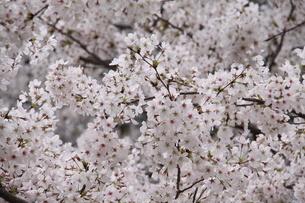 満開の桜の写真素材 [FYI03818090]